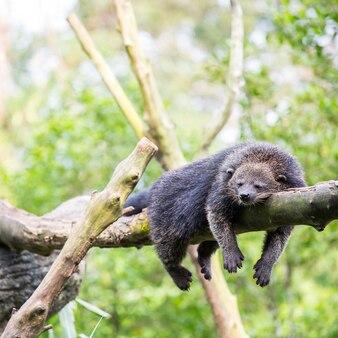 Binturong медвежонок спит