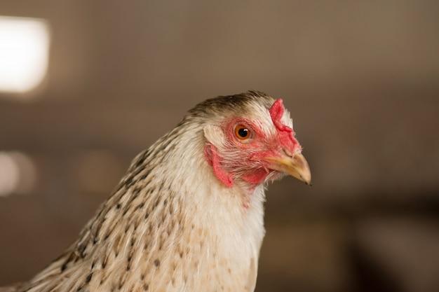 Bio chickens  close up