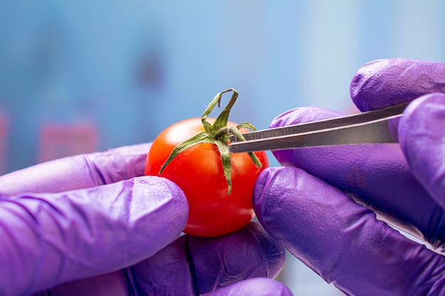 Biologist examining cherry tomato for pesticides