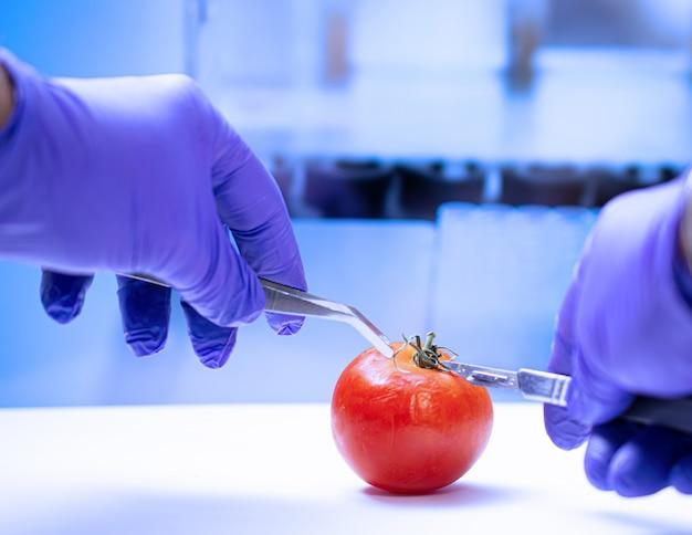 Biologist examining  tomato for pesticides