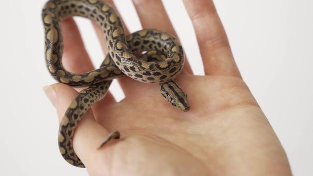 小さな滑らかなヘビ(coronella austriaca)を注意深く手のひらに持っている生物学者の研究者。