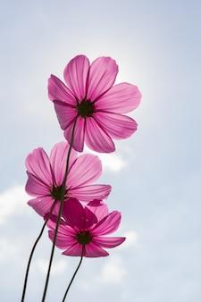 使用背景のコスモスの花(コスモスbipinnatus)