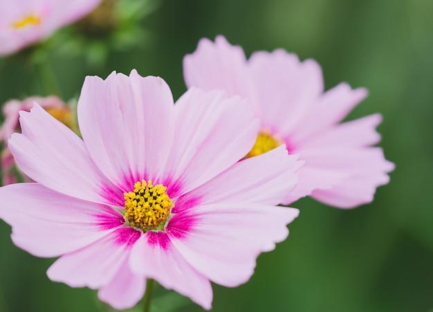 コスモスbipinnatus黄色とピンク色。