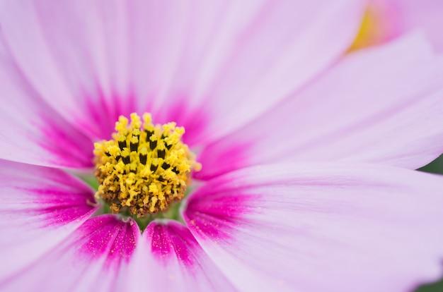 コスモスbipinnatus花のマクロ。