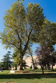 Бир дерево на территории султанахмет, стамбул, турция.