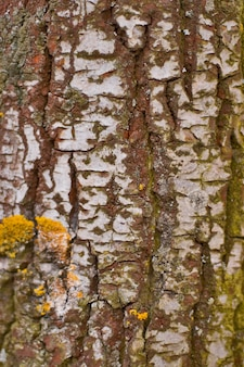Birch bark close up background