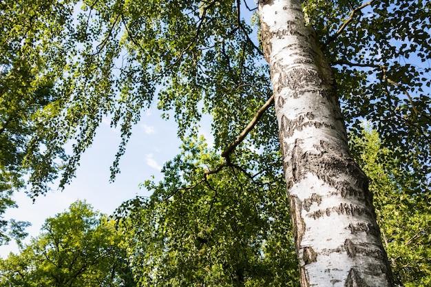 Вид снизу березы, ствол и зеленая листва на фоне голубого неба