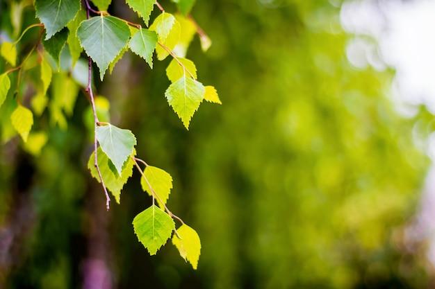 Березовая ветка на размытом фоне. листья березы в ясный солнечный день. скопировать spase для text_