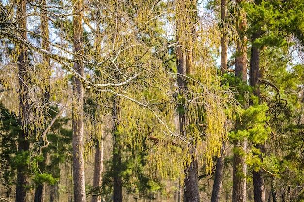 木の背景につぼみのある白樺の枝、フィルター