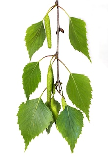 Birch branch with green leaves and earrings on a white isolated
