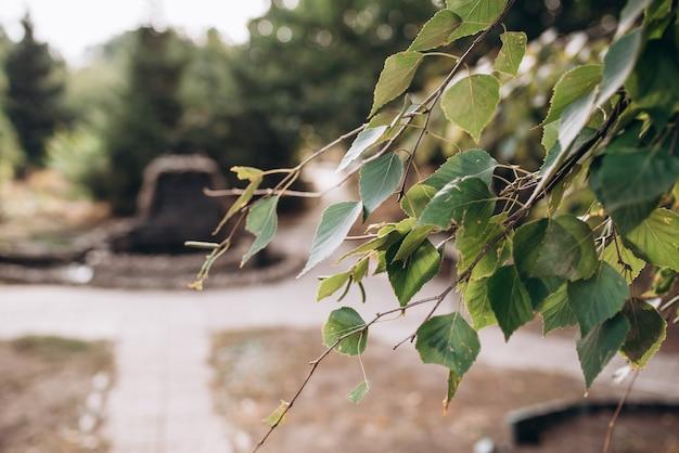 Березовая ветка с зелеными листьями природа