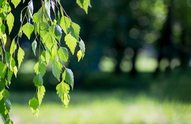晴天の暗いぼやけた背景に緑の葉を持つ白樺の枝。コピースペース