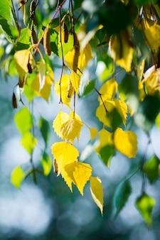 秋の初めに黄色と緑の葉を持つ白樺の枝