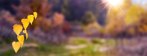 Березовая ветка с желтыми осенними листьями на размытом фоне в лесу в солнечном свете, панорама