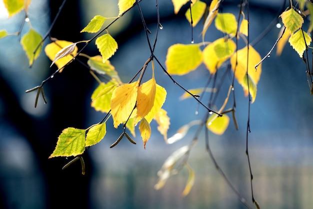 Березовая ветка с желтыми осенними листьями на размытом фоне