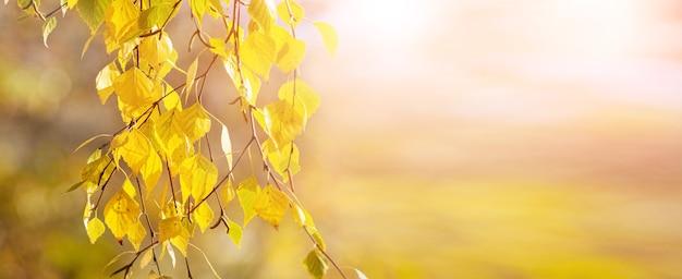 Березовая ветка с желтыми осенними листьями на светлом размытом фоне в солнечную погоду, панорама, копия пространства