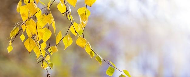 Березовая ветка с желтыми осенними листьями на светлом размытом фоне, панорама, копия пространства