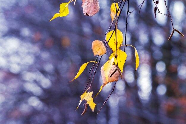 Березовая ветка с желтыми сухими осенними листьями на размытом фоне