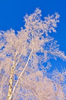 冬の白樺の枝。青い空を背景に霜と雪に覆われた白い枝