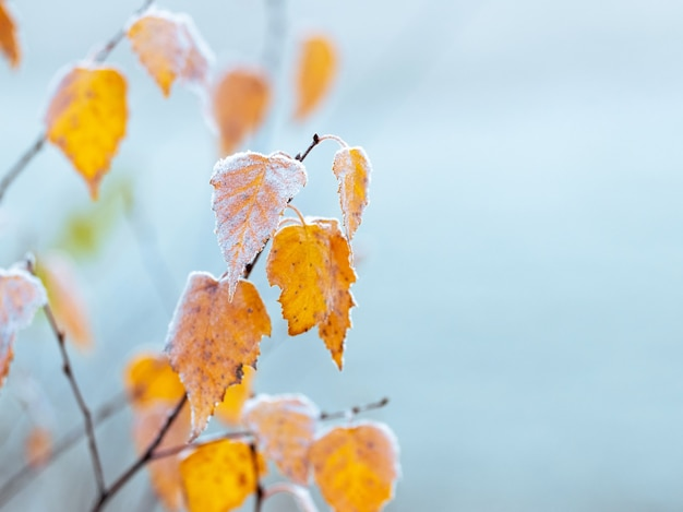 Ветки березы с сухими листьями покрыты белым инеем