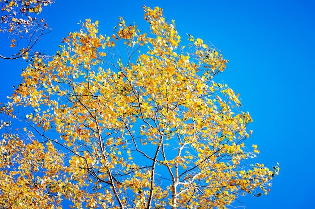 突風の下で黄色い紅葉の白樺の枝が曲がる