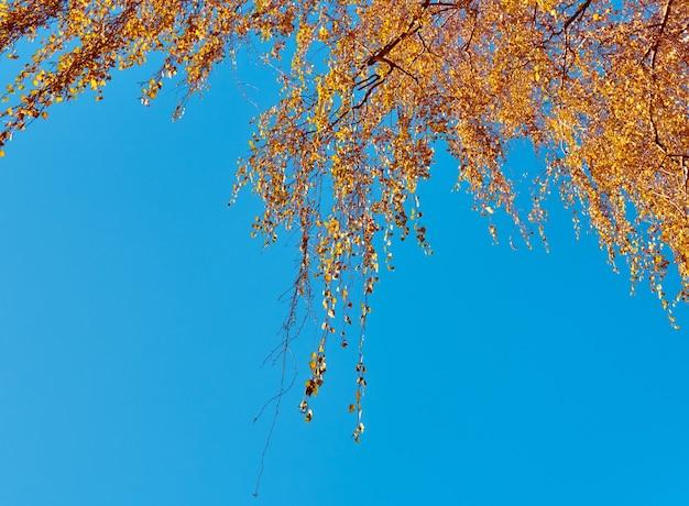 하늘 배경에 노란 잎 자작 나무 가지