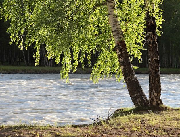 川沿いの白樺、春の風景