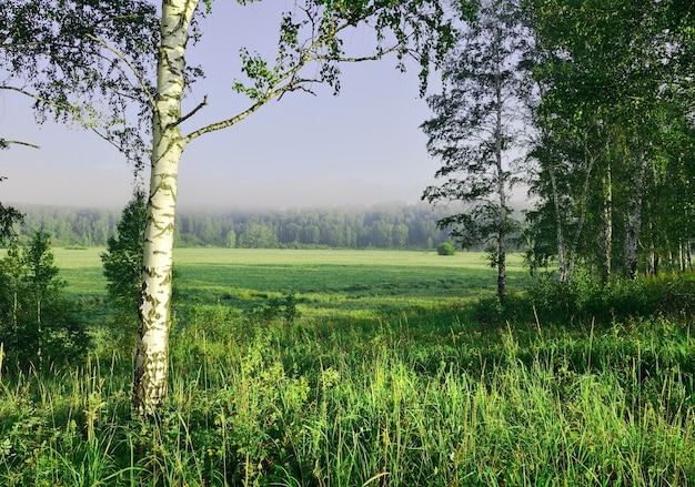Birch on the edge of the field