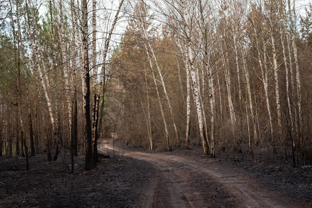 Birch forest after fire, burned trunks of the trees