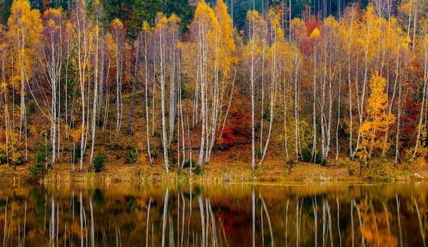 Birch forest by the lake in autumn, poland