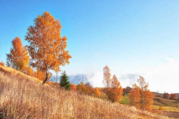 Birch forest in sunny afternoon while autumn season.