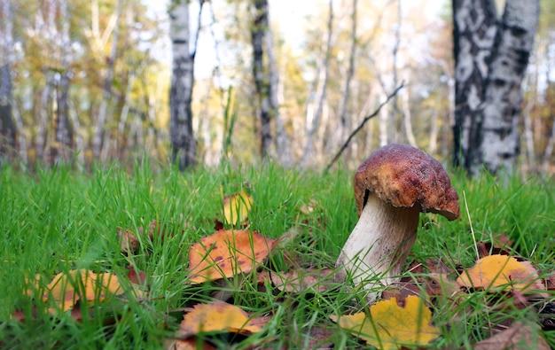 자작 나무 숲. 흰 버섯. 가을 숲에서 성장하는 cep 버섯.
