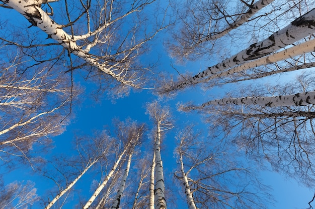 Birch forest in  winter day