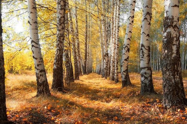 Березовый лес с солнечными лучами осенью