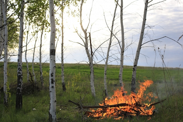Birch green grass and a fire