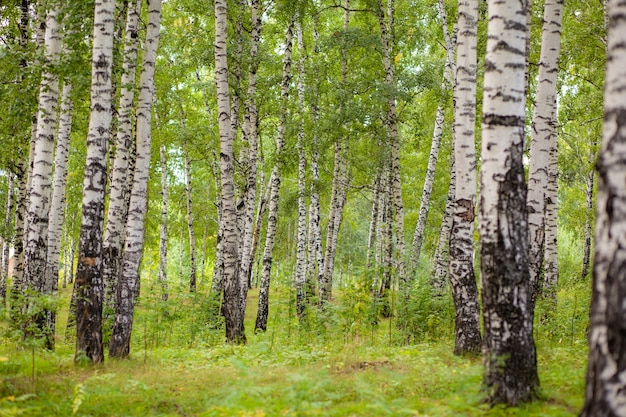 Березовая роща в золотом солнечном свете в ясный день. стволы с белой корой и желтыми листьями. естественный лесной пейзаж в начале осени. путь между деревьями