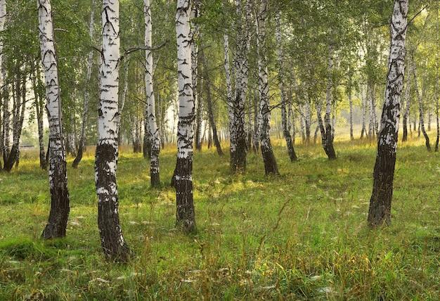 여름 아침의 자작나무 숲