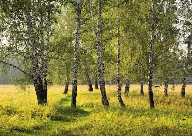 Birch grove on a summer morning 2020