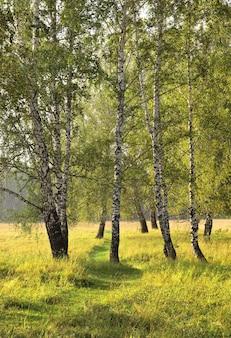 Birch grove on a summer morning