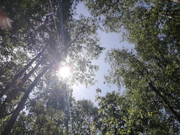 Березовая роща деревья снизу вверх и голубое небо с солнечным светом Premium Фотографии