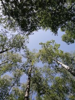 Березовая роща деревья снизу вверх и голубое небо с солнечным светом