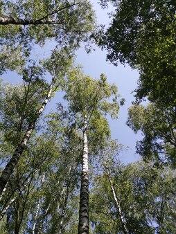 Березовая роща, деревья снизу вверх и голубое небо.