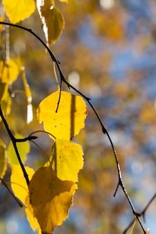 가을 자작 나무