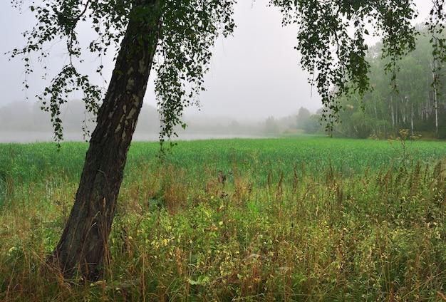 아침 안개 속의 자작나무