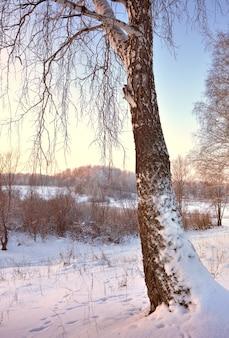 Береза в зимнем поле. ствол дерева в снегу, свисающие ветки, холмы вдалеке