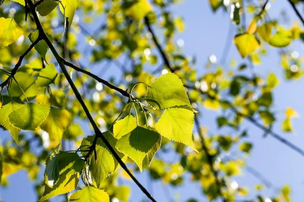春の日差しに照らされた白樺の葉、本物の自然な白樺の葉