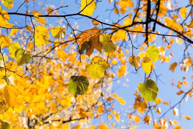 秋に白樺の葉