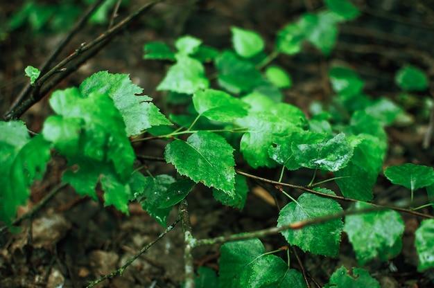 雨の後、シラカバは滴を残します。