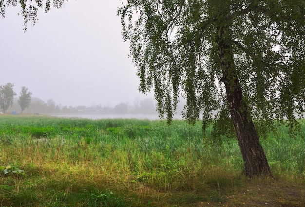 Birch in the morning fog