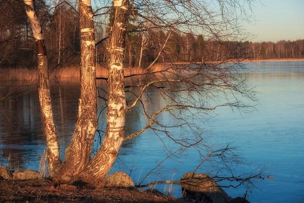 맑고 화창한 날 이른 봄에 호수에 자작 나무